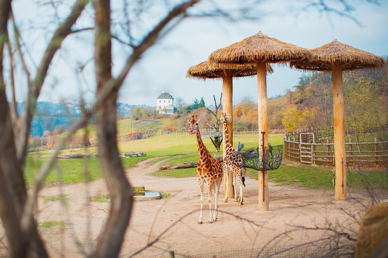 Two giraffes are walking in the zoo. Two large well-groomed giraffes at the zoo are waiting for their feed. royalty free stock photos