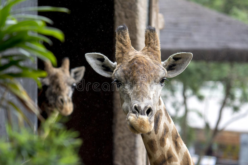 Two Giraffes royalty free stock images