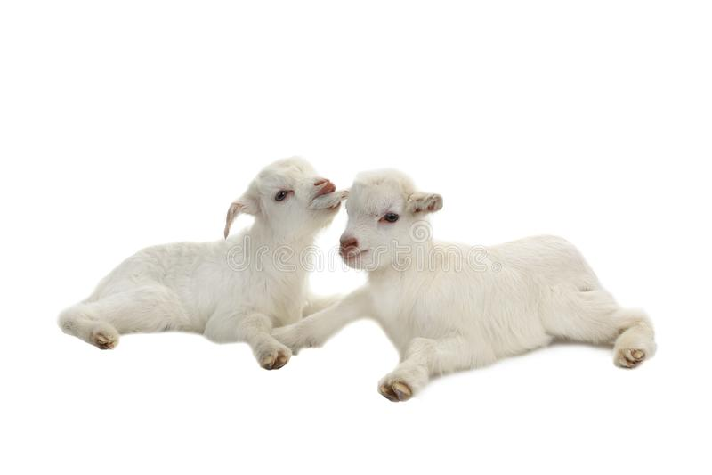 Two goat kids. Isolated on a white background, studio shot royalty free stock image