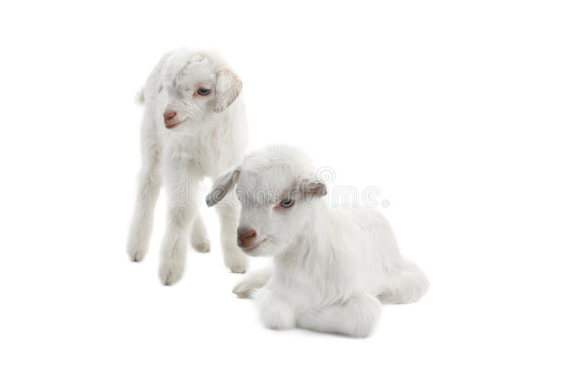 Two goat kids. Isolated on white stock images