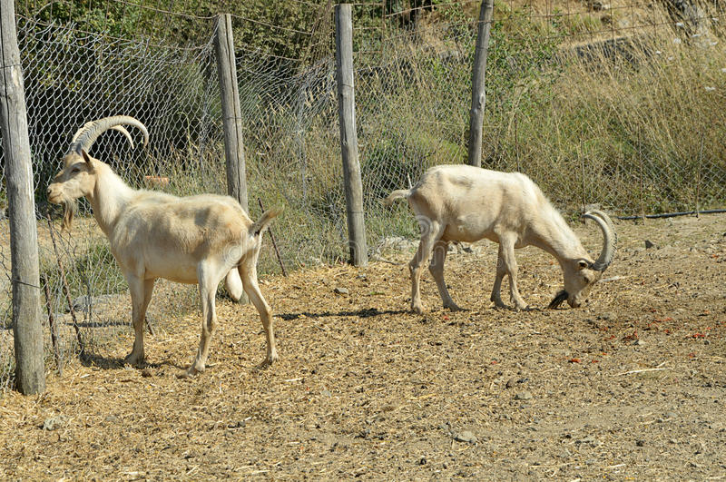 Two goat Kri-Kri royalty free stock images