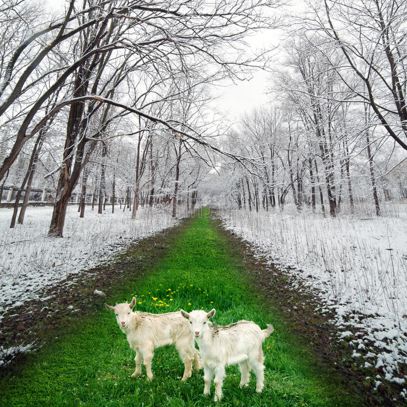 Download Two Goatlings In Winter Park Stock Image - Image: 28702805