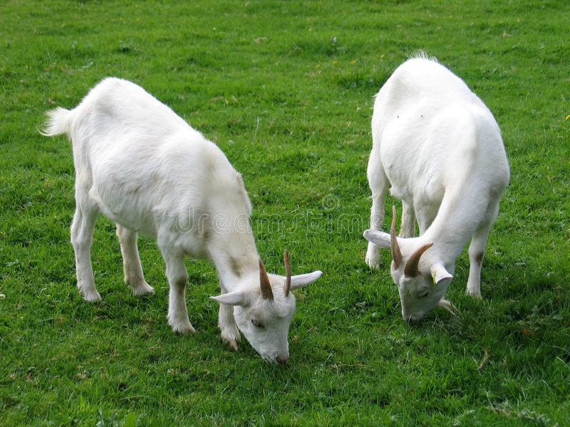 Two goats stock image