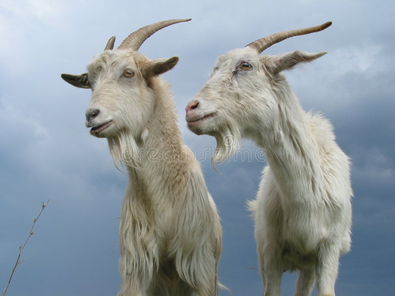 Two goats royalty free stock photos