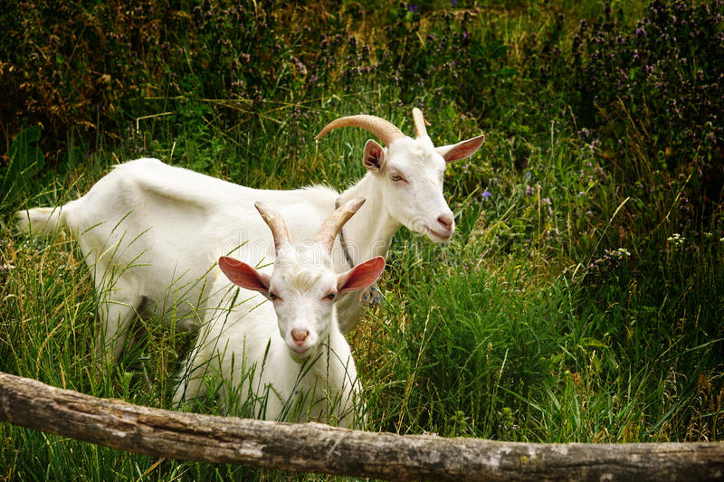 Two goats on a background of green grass stock photo