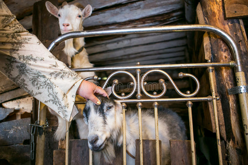 Two goats in a cowshed royalty free stock images