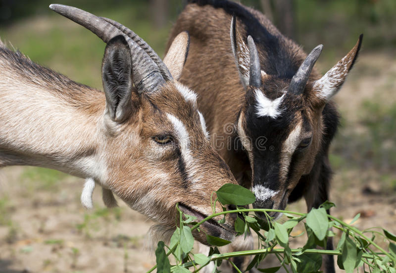 Two goats eating royalty free stock photos