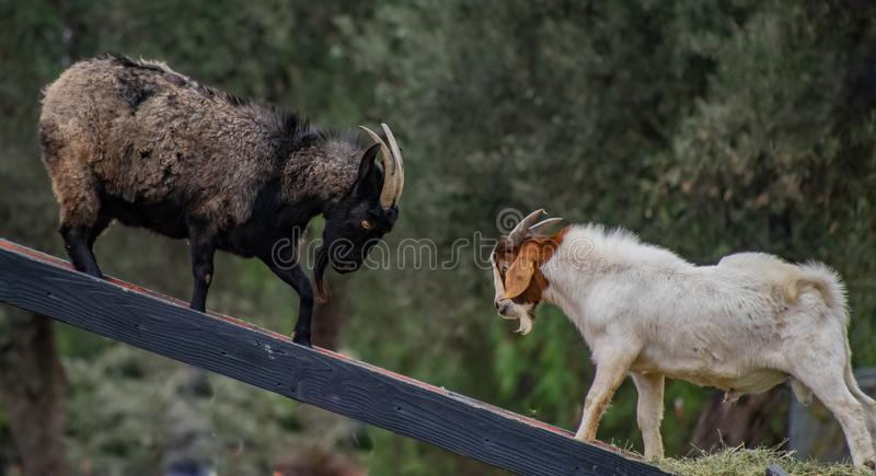 Two Goats Face Off to Challenge Each Other stock photography