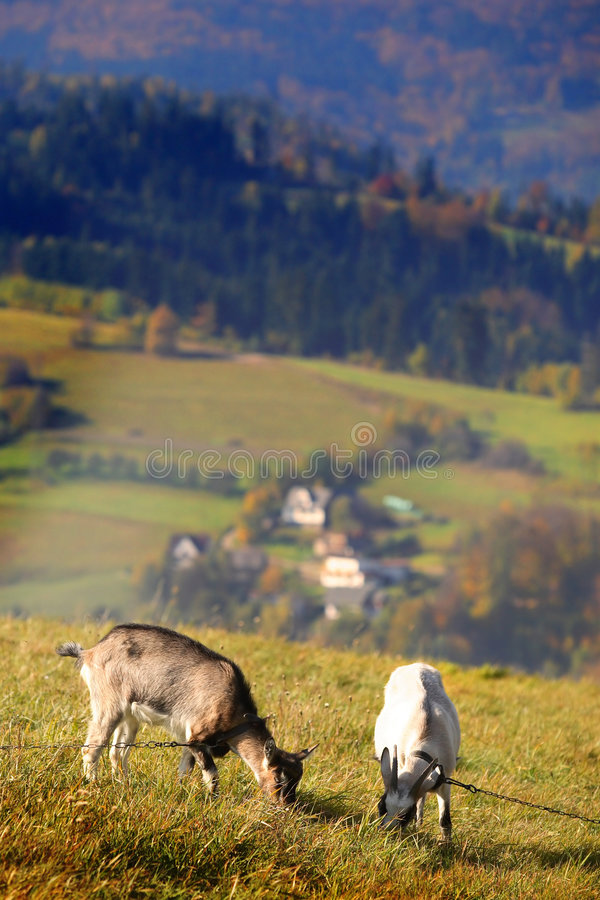 Two goats on the pasturage. In the mountains stock photography