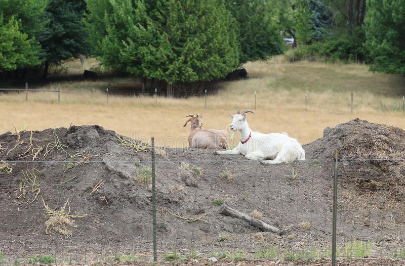 Goats chilling on a chilly day on an Oregon farm stock photography