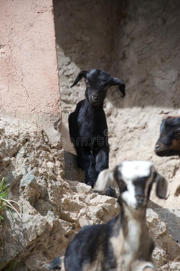 Two goats in a rocky urban environment royalty free stock image