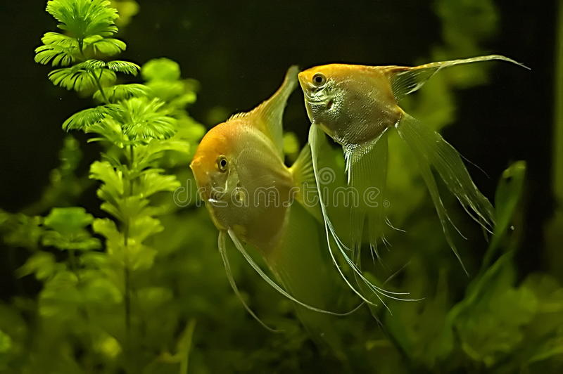 Two Gold Veil Angel Fish stock photo