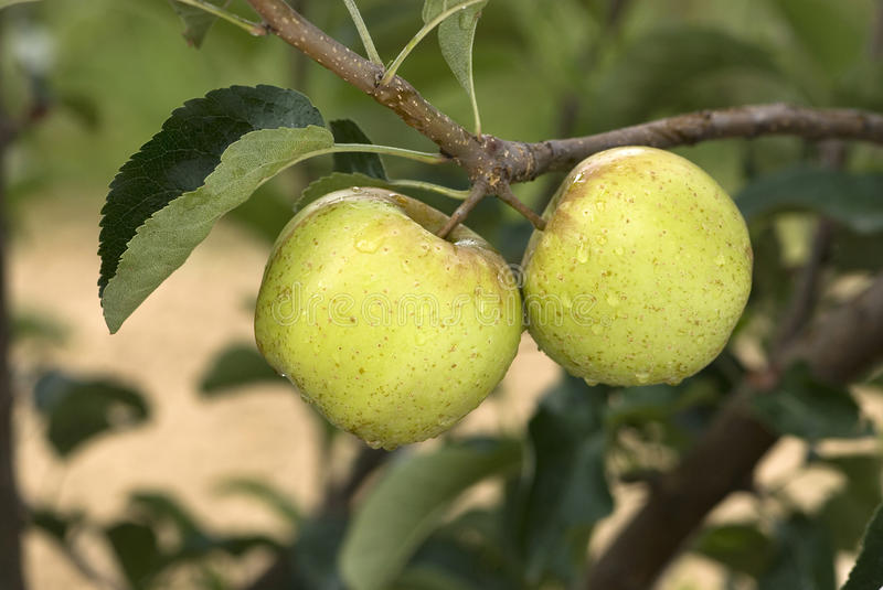 Two golden apples on a branch stock photo