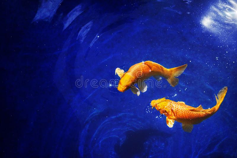 Two golden koi carp fishes close up, dark blue sea background, yellow goldfish swims in water, Pisces constellation horoscope sign. Two golden koi carp fishes stock photography