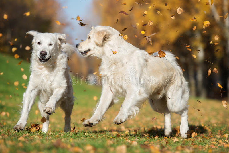 Two golden retriever dogs playing outdoors in autumn royalty free stock image