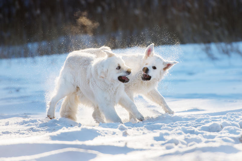 Two golden retriever dogs playing outdoors. Golden retriever dogs outdoors in winter stock image