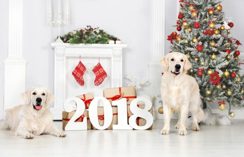Two golden retriever dogs posing indoors for new year 2018 royalty free stock photography