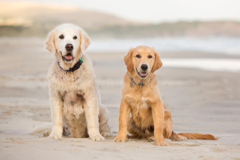 Two golden retriever dogs sit on the beach stock image