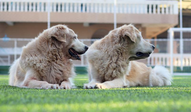 Two golden retriever dogs turn their heads to the same direction. Two golden retriever dogs lay down on the green grass , turn their faces to to same direction royalty free stock photo