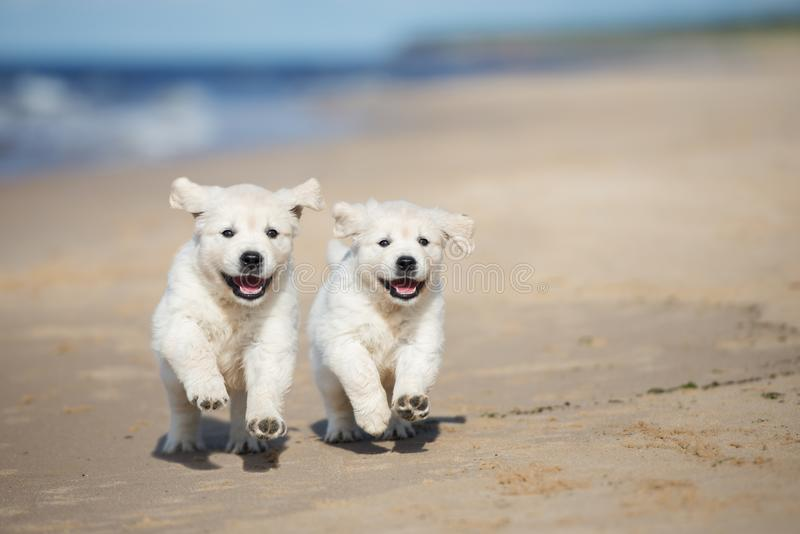 Two golden retriever puppies running on a beach stock photo