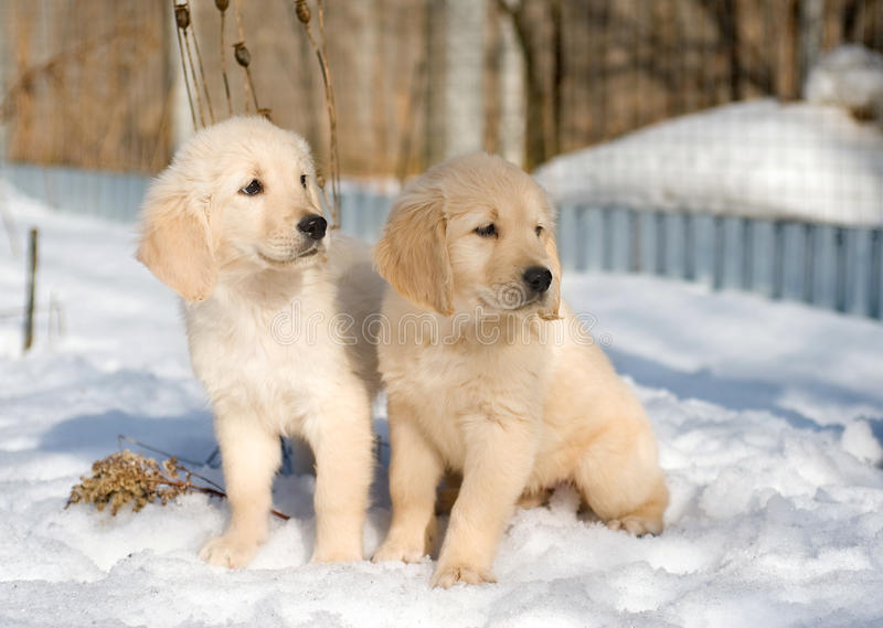 Two golden retriever puppies in snow stock image