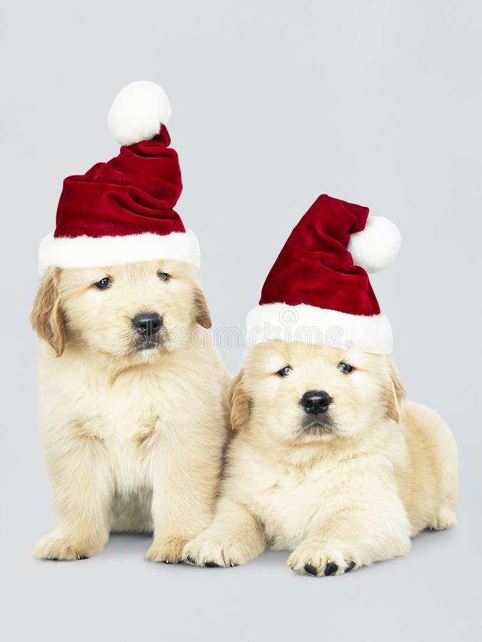 Two Golden Retriever puppies wearing a Santa hats stock photography