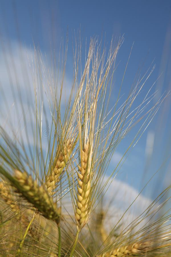 Two golden spikelets of wheat against the sky stock photos