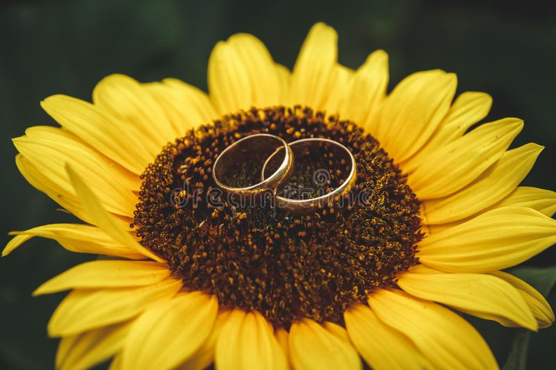 Two golden wedding rings lie on large sunflower with blue sky background stock image