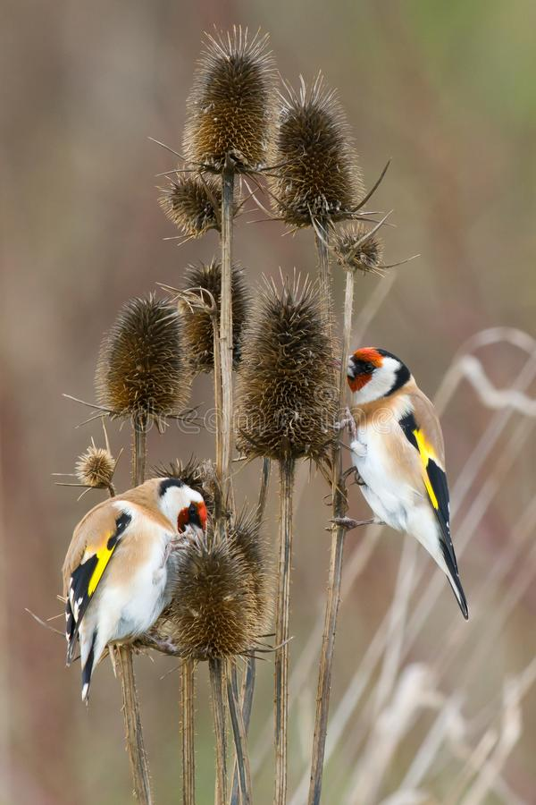 Free Two Goldfinches Sitting On Dry Thistle Flower Royalty Free Stock Image - 164935056