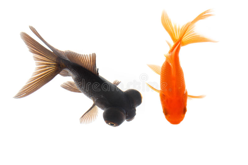 Two goldfish. Swimming with white background royalty free stock images
