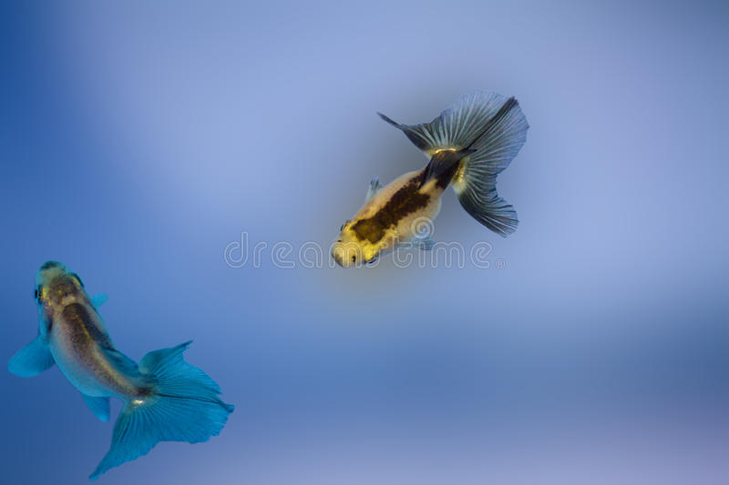 Two goldfish stock photography