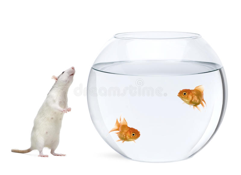 Download Two Goldfish In Fish Bowl, Rat Smelling Nearby Stock Image - Image: 11785271