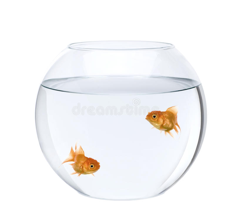 Two goldfish swimming in fish bowl stock photos