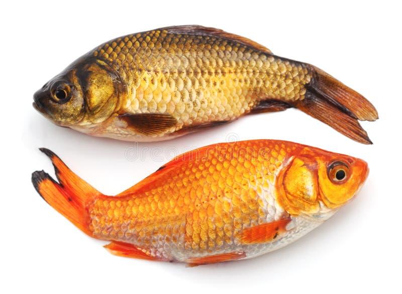 Two goldfish. stock image