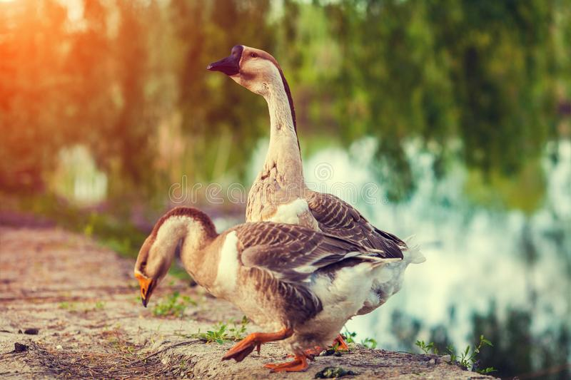 Two goose by the lake royalty free stock photos
