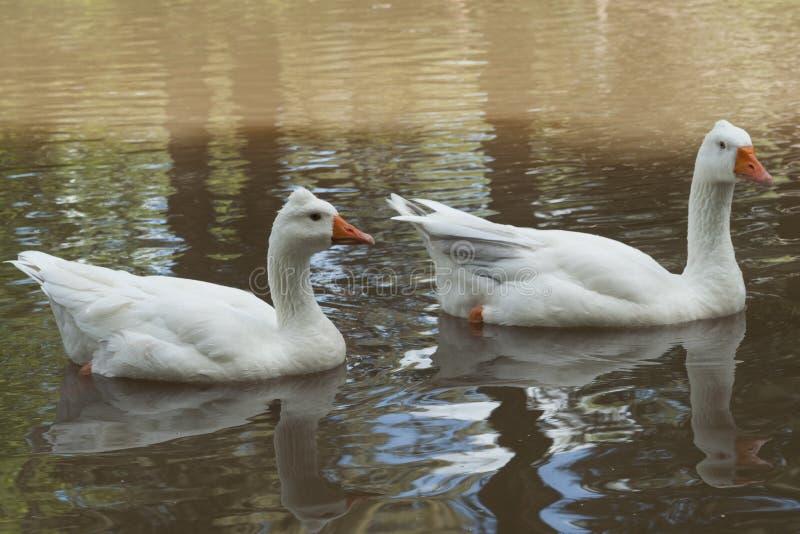 Two goose royalty free stock photos