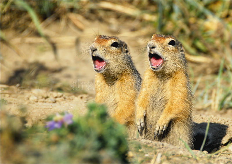 Two gophers. In chukchi tundra royalty free stock image