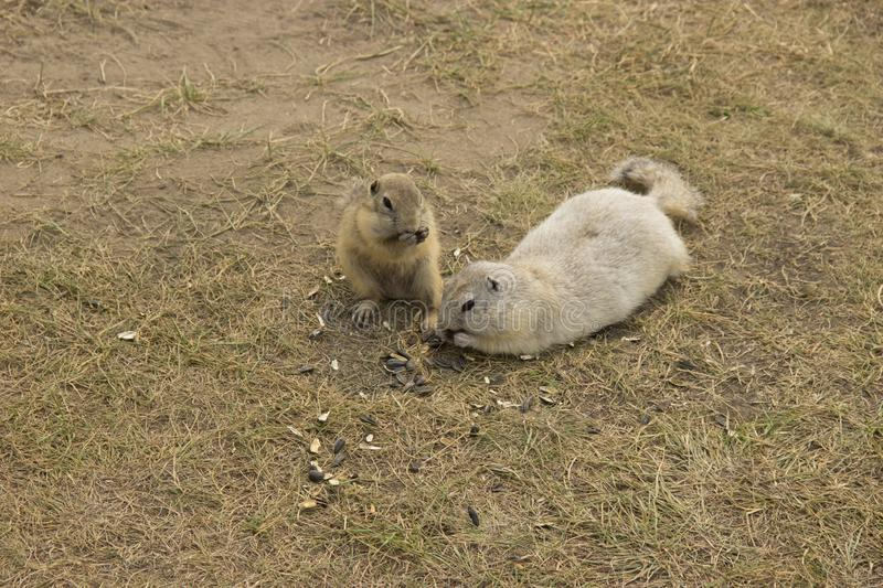 Two gophers eat sunflower seeds together on the lawn.  royalty free stock photography