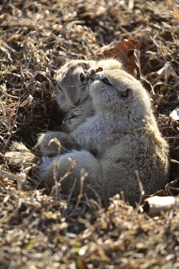 Two gophers mating. Saskatchewan Canada royalty free stock photo