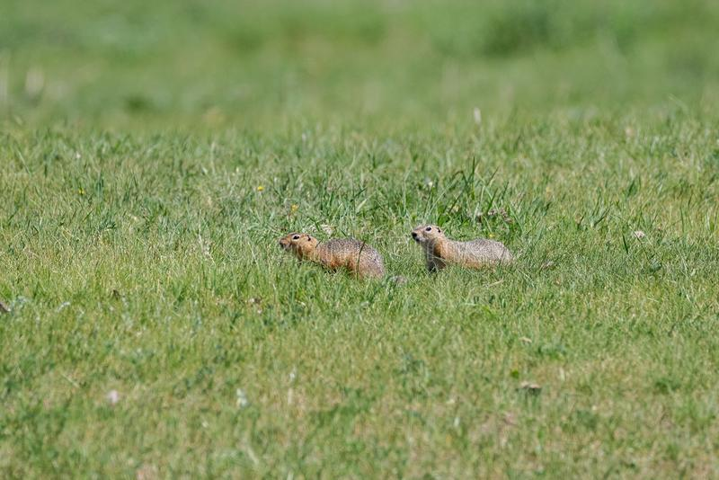 Two gophers in a low green grass on a bright sunny day. Two gophers run after each other in low green grass on a clear sunny day., wild nature stock photography