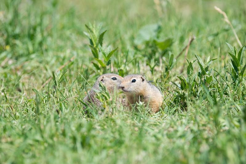 Two gophers sit next to each other and one looks at the other. Two gophers sit side by side and one looks at the other in low green grass on a bright sunny day stock photo