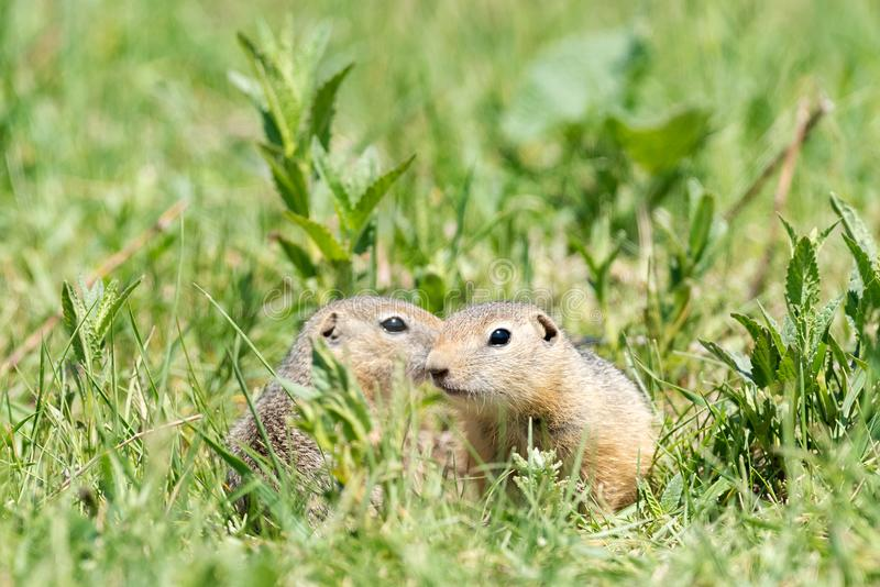 Two gophers sit next to each other and one looks at the other. Two gophers sit side by side and one looks at the other in low green grass on a bright sunny day royalty free stock images