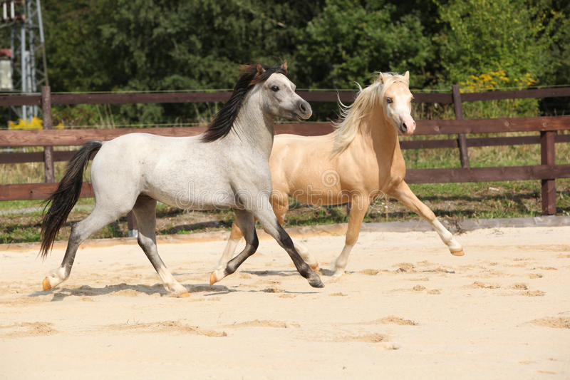 Two gorgeous stallions running together stock photography