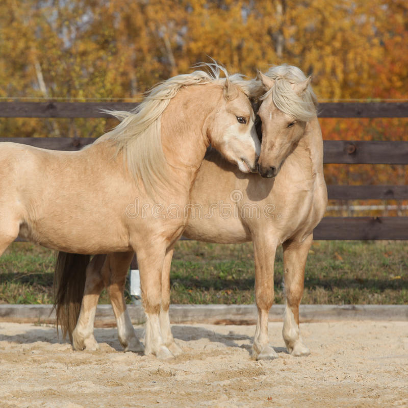 Two gorgeous welsh pony stallions playing together. Two amazing palomino stallions playing together in autumn, welsh mountain pony and welsh pony of cob type stock photography