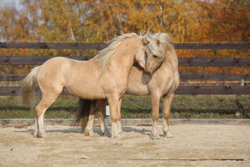 Two gorgeous welsh pony stallions playing together. Two amazing palomino stallions playing together in autumn, welsh mountain pony and welsh pony of cob type royalty free stock images