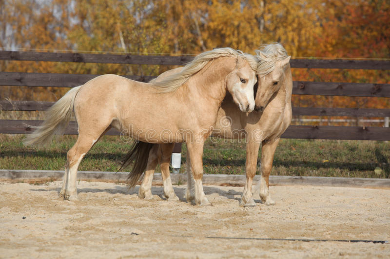 Two gorgeous welsh pony stallions playing together. Two amazing palomino stallions playing together in autumn, welsh mountain pony and welsh pony of cob type royalty free stock photography