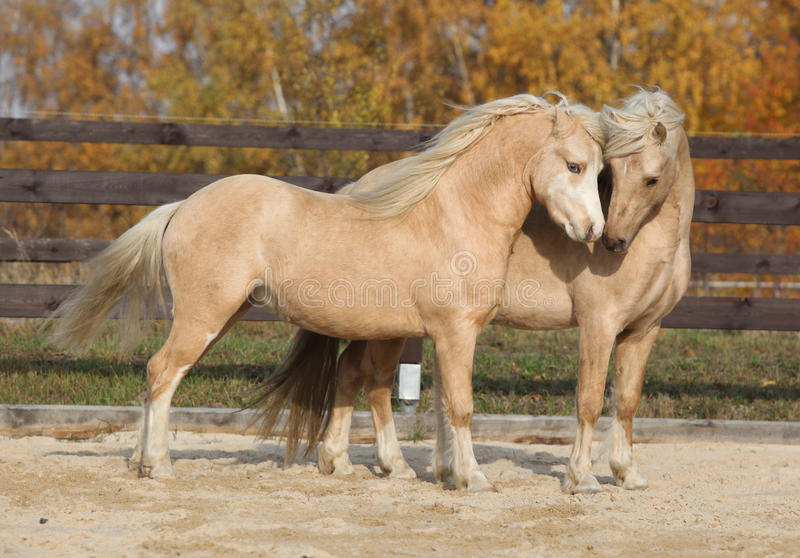 Two gorgeous welsh pony stallions playing together. Two amazing palomino stallions playing together in autumn, welsh mountain pony and welsh pony of cob type stock images