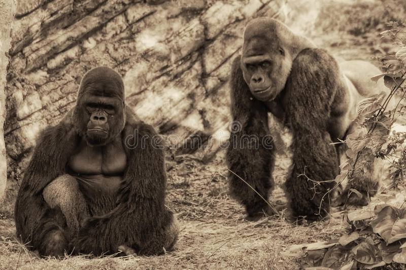 Two Gorillas. Looking at me and my camera royalty free stock photo