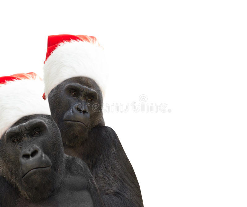 Two gorillas. A Santa Claus hat stock image