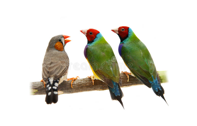 Two Gouldian and zebra Finches on white royalty free stock photography